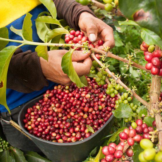 コーヒー農家が安定したコーヒー栽培を続けるために